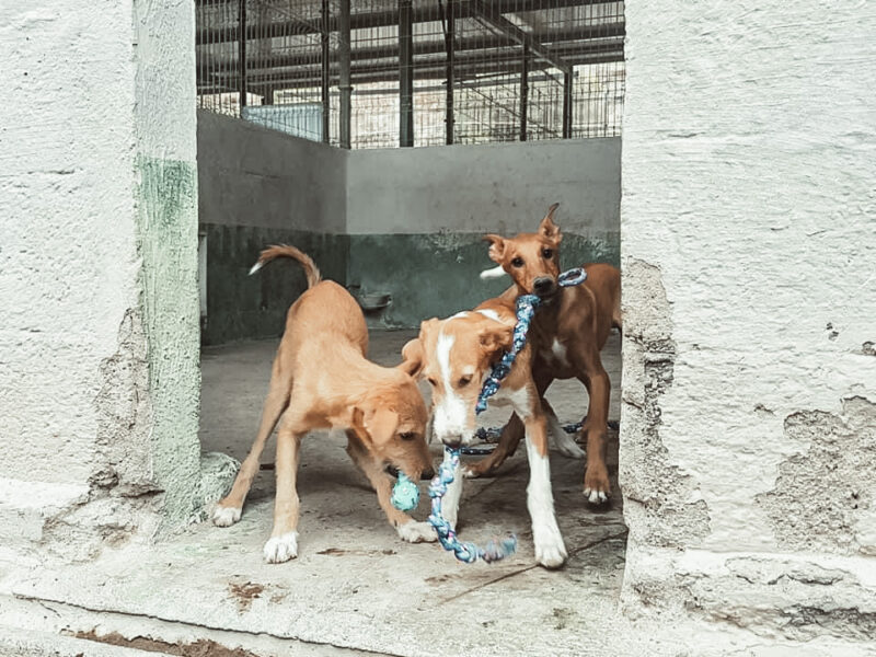podenco puppies at dog shelter in tenerife